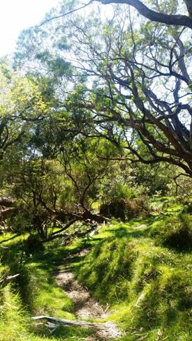 Sentier dans la forêt de tamarins des hauts
